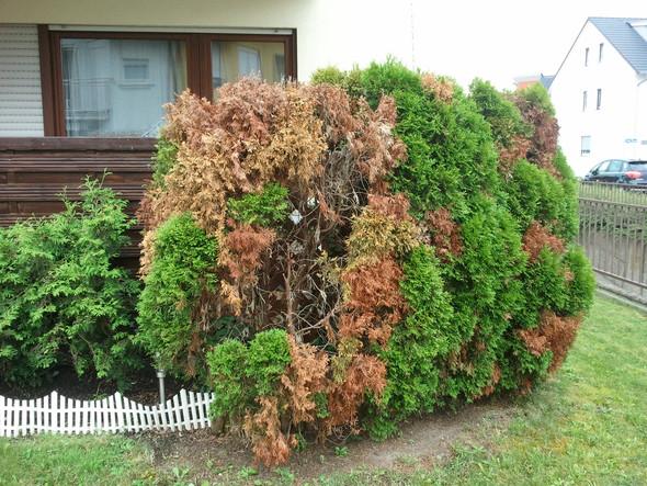 Befallene Thujas von vorne - (Garten, Entsorgung, Gartenbau)