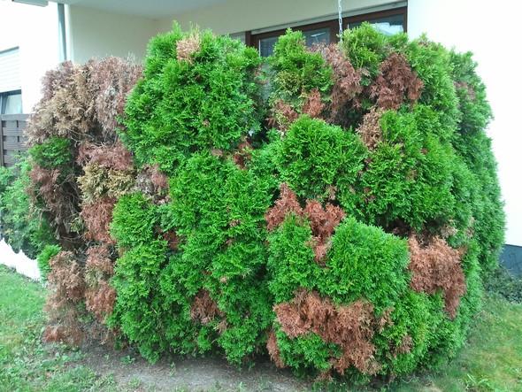 Befallene Thujas von der Seite - (Garten, Entsorgung, Gartenbau)